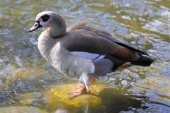 An egyptian goose on the lake shore - alopochen aegyptiaca royalty free stock photo
