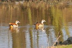 Egyptian goose Stock Photo