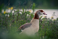 Egyptian Goose by Lakeside. An Egyptian Goose by a lakeside surrounded by attractive wildflowers and foliage. Taken in Norfolk, UK Royalty Free Stock Photo