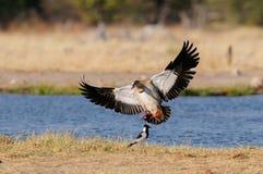 Egyptian goose are landing, etosha nationalpark, namibia Royalty Free Stock Photography