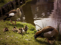 Egyptian goose with little duckies chicks Stock Images