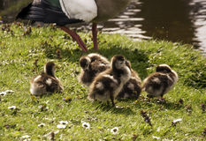 Egyptian goose with little duckies chicks Royalty Free Stock Photo