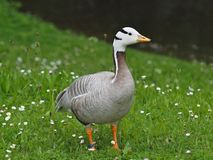 Beautiful egyptian goose on a meadow royalty free stock image