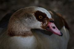 The Egyptian goose is a member of the duck, goose, and swan family Anatidae. Lives in Africa stock photo