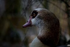 The Egyptian goose is a member of the duck, goose, and swan family Anatidae. Lives in Africa stock photos