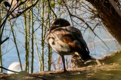 The Egyptian goose is a member of the duck, goose, and swan family Anatidae. Lives in Africa royalty free stock image