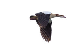 Egyptian Goose in mid flight Stock Photo