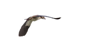 Egyptian Goose in mid flight Stock Photos