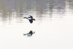 Egyptian Goose in mid flight Royalty Free Stock Image