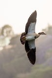 Egyptian Goose in mid flight Stock Image