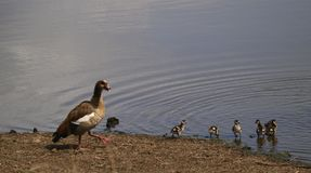 Egyptian Goose Family. Egyptian Goose mother keeping an eye on her flock Royalty Free Stock Photography
