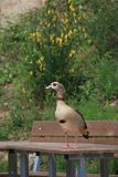 Egyptian Goose On A Table Royalty Free Stock Images