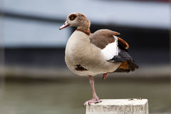 Egyptian Goose. On one leg Stock Images