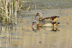 Egyptian goose Stock Images