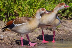 Egyptian Goose Pair Stock Images