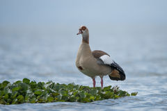 Egyptian goose perched on floating green plant Royalty Free Stock Photography