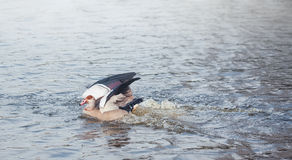 The Egyptian Goose Stock Image