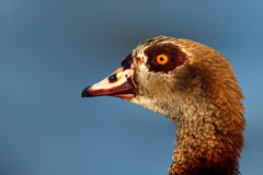 Egyptian goose portrait Stock Photos