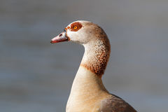 Egyptian goose portrait Royalty Free Stock Image