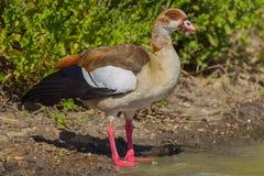 Egyptian Goose Portrait. Portrait of an Egyptian Goose, taken in Kenya's Nairobi National Park Stock Images