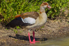 Egyptian Goose Portrait Stock Images
