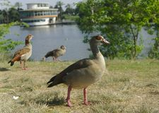 An Egyptian goose in Ramat Gan national park stock photography