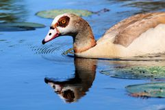 Egyptian goose reflecting in lake Stock Images