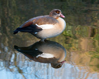 Egyptian Goose. With reflection in a water Royalty Free Stock Photos