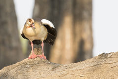 Egyptian goose resting on log Stock Photo