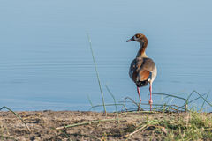 Egyptian goose on river bank facing camera Royalty Free Stock Images