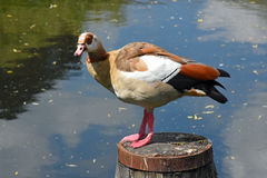 Egyptian Goose, River Wensum, Norwich, England Royalty Free Stock Photos