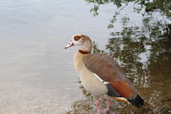 Egyptian Goose. An Egyptian goose on a riverside bank in a wetland habitat ready to take a swim Stock Image