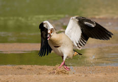 Egyptian Goose Running Royalty Free Stock Image