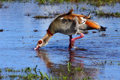 Egyptian goose in shallow water Stock Image