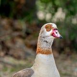 Egyptian Goose 1 Royalty Free Stock Photos