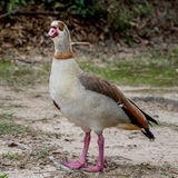 Egyptian Goose 5 Stock Image