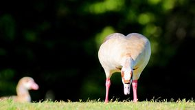 Egyptian goose eating Royalty Free Stock Images