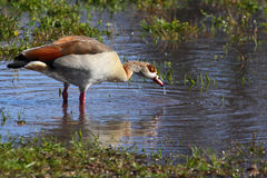 Egyptian goose standing in water Royalty Free Stock Photography