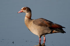 Egyptian Goose standing in the water. In the evening looking to the left Stock Image