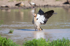 Egyptian goose standing in water flapping wings to dry Stock Image
