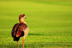Egyptian Goose at Sunset Stock Photo
