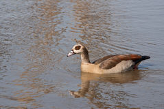 Egyptian Goose swimming Royalty Free Stock Images