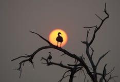 Egyptian goose Royalty Free Stock Image