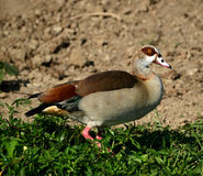 An Egyptian Goose in Uganda Royalty Free Stock Photo