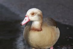 The Egyptian goose up close stock photography