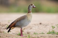Egyptian goose walking along the sandy bank of a river Royalty Free Stock Images