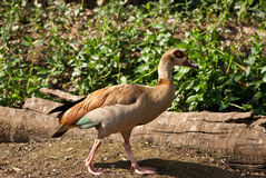 Egyptian Goose walking Stock Images