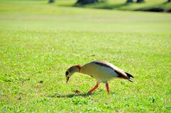 Egyptian goose walking on golf course Royalty Free Stock Photo