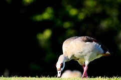Egyptian goose eating grass Stock Photos
