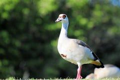 Egyptian goose posing Stock Photo